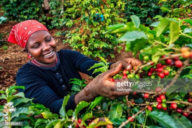 ung afrikansk kvinna som samlar kaffekörsbär, kenya, östafrika - kenya bildbanksfoton och bilder
