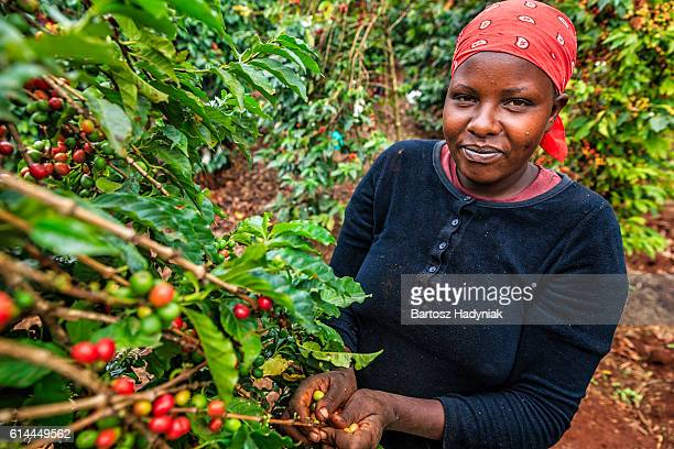 young african woman collecting coffee cherries, kenya, east africa - café culture agricole photos et images de collection