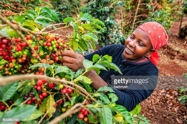 junge afrikanische frau sammeln kaffee-kirschen, kenia, osten und afrika - kenia stock-fotos und bilder