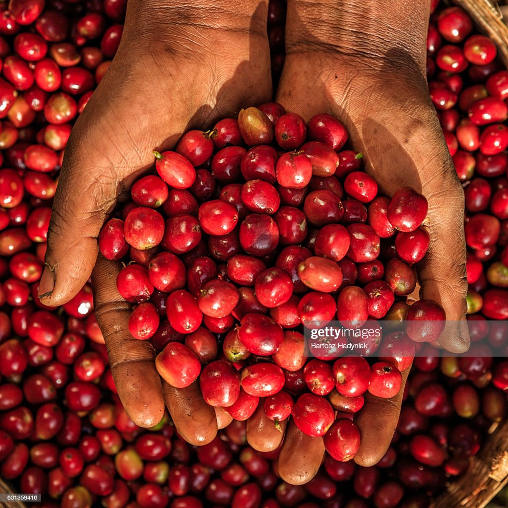 Young African woman showing freshly picked coffee cherries, East Africa : Stock Photo