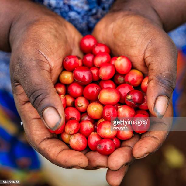 young african woman showing freshly picked coffee cherries, east africa - east africa stock photos and pictures