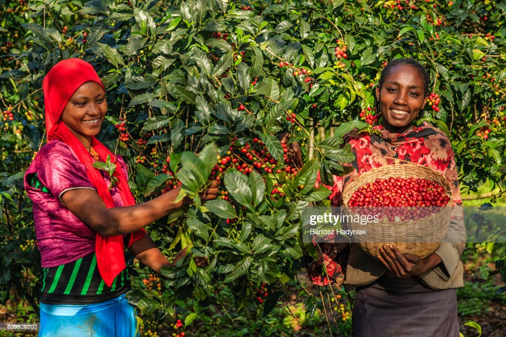 Young African women collecting coffee cherries, East Africa : Stock Photo
