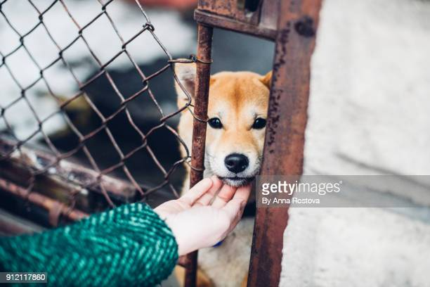 Young akita dog being petted through fencing
