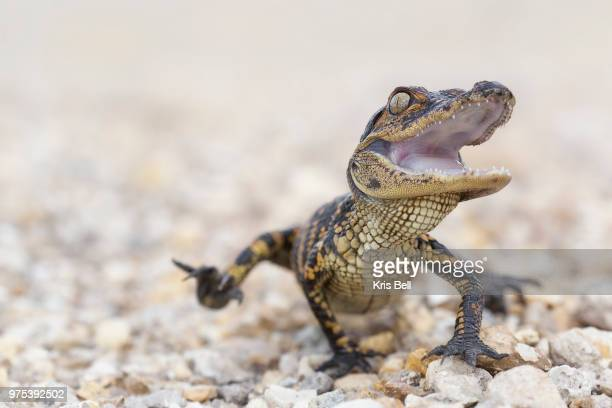 young alligator crawling, pebble creek, florida, usa - alligator stock pictures, royalty-free photos & images