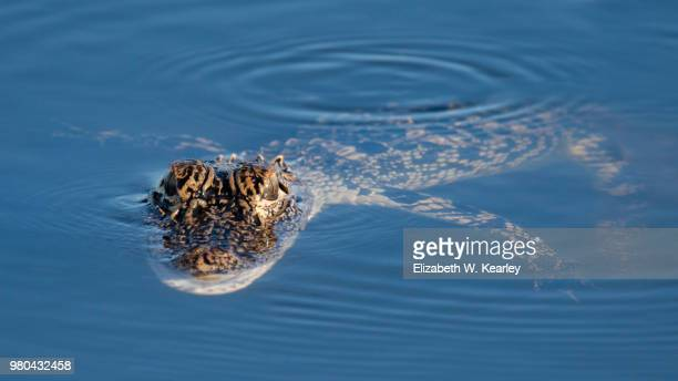 young alligator floating in the water - florida gators stock pictures, royalty-free photos & images