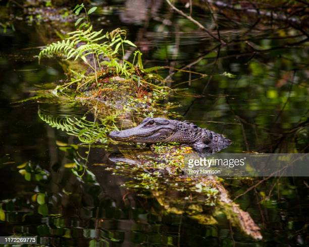 young alligator on log - gulf coast states stock pictures, royalty-free photos & images