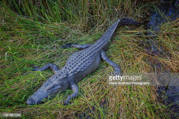 young alligator resting in the grass beside the anhinga trail in everglades national park, florida, usa - anhinga_trail stock pictures, royalty-free photos & images