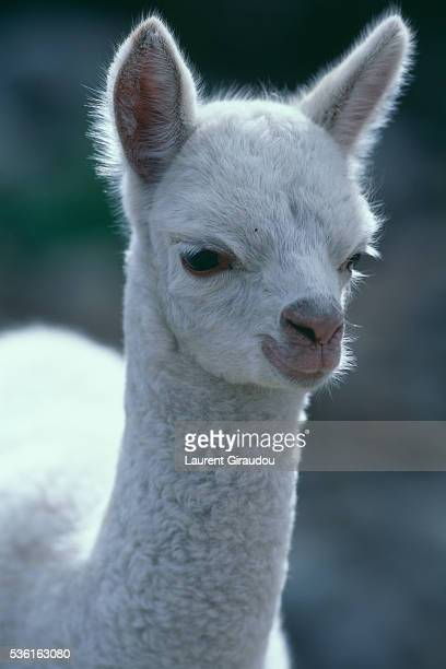 young alpaca in bolivia - young animal stock pictures, royalty-free photos & images