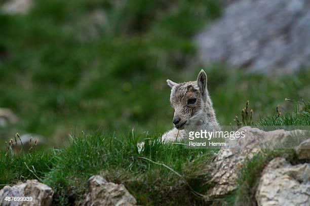 Young Alpine Ibex -Capra ibex-, Graubuenden, Switzerland