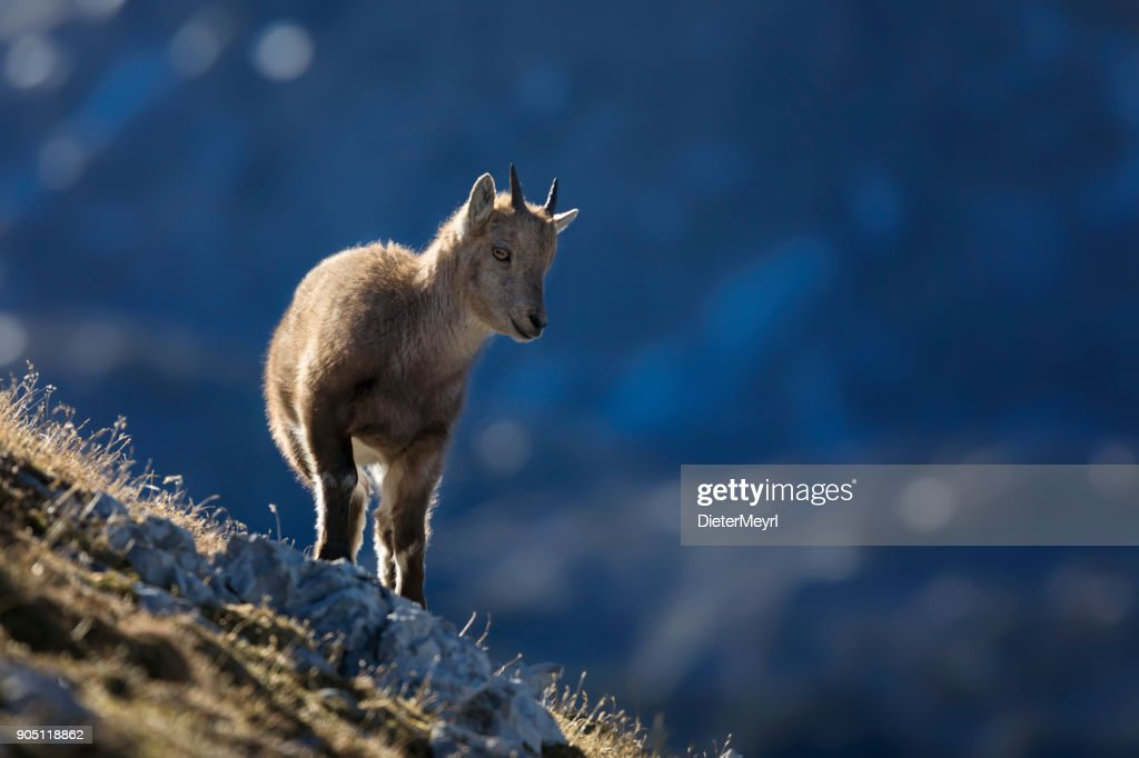 Young Alpine Ibex in the morning Sun, Alps : Stock Photo