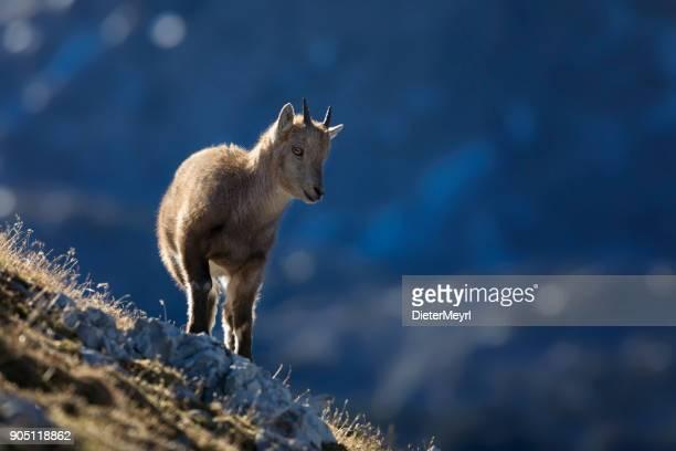 Young Alpine Ibex in de ochtend zon, Alpen