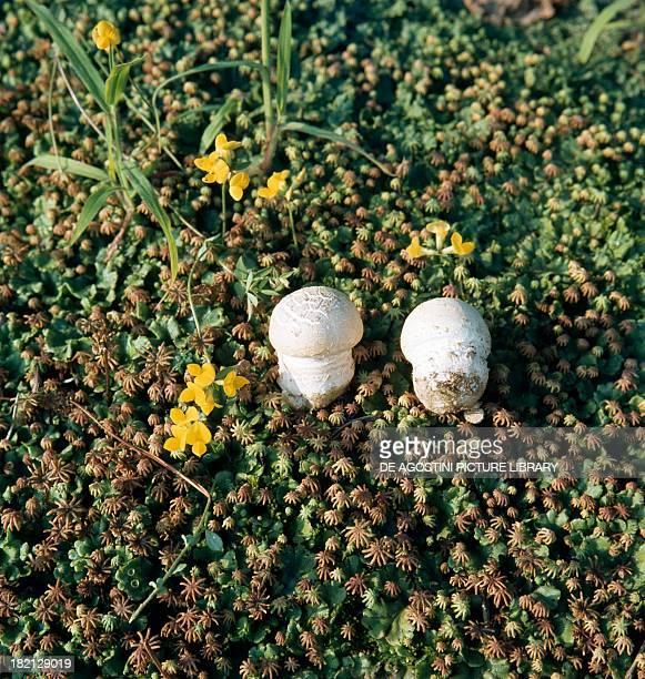 Young Amanita specimens Amanitaceae with Common liverwort or Umbrella liverwort Marchantiaceae