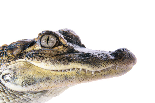 Young American Alligator 178704891