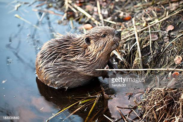 young american beaver at base of beaver lodge - beaver stock pictures, royalty-free photos & images