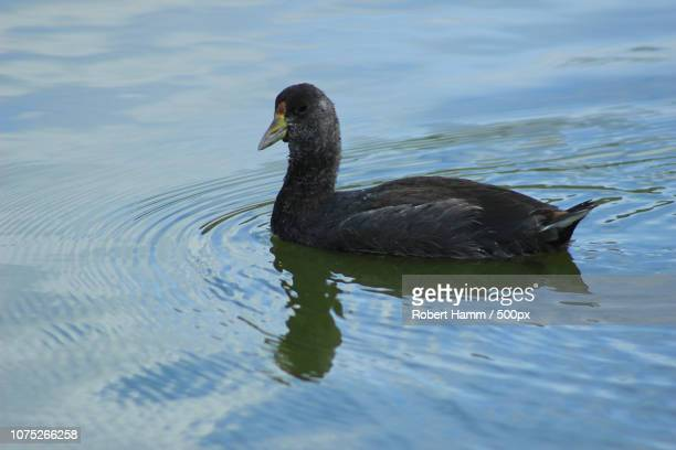 Young American Coot Swimming