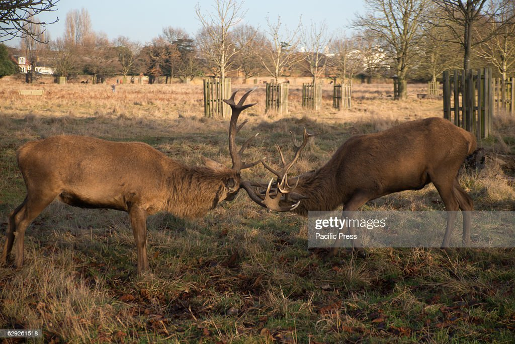 Young and adult Red and Fallow deers chilling at Bushi Park... : Nachrichtenfoto