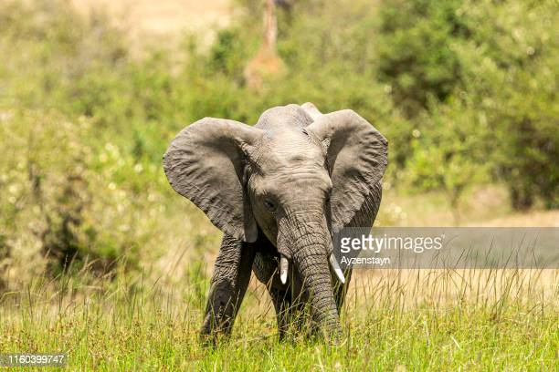 young and anger african elephant grazing at wild - african elephant stock pictures, royalty-free photos & images
