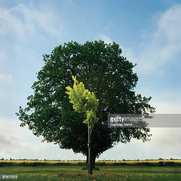 young and old oak trees - sapling stock photos and pictures
