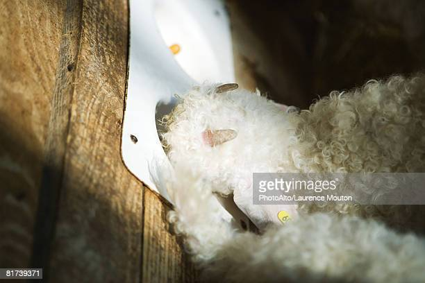 Young angora goat eating out of feeder, high angle view
