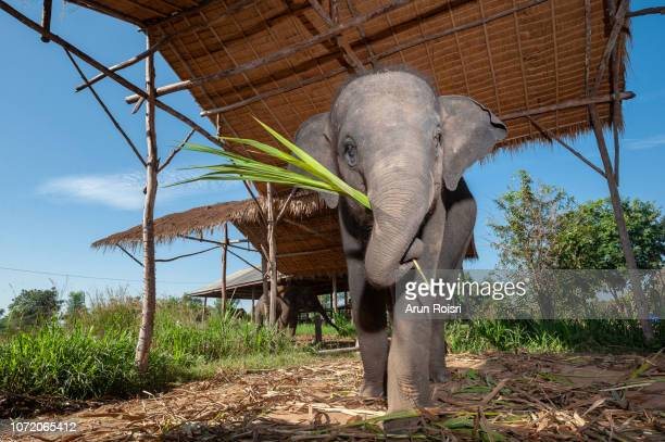 young asian elephant standing in corral at elephant village,surin province,thailand. - asian elephant stock pictures, royalty-free photos & images