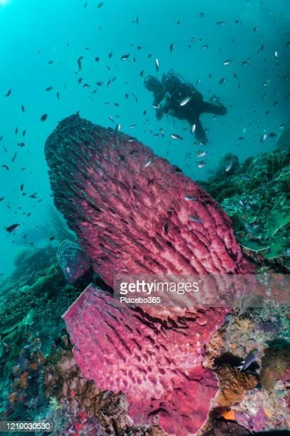 熱帯魚とバレルスポンジ(xestopongia testudinaria)と美しい水中サンゴ礁でダイビングをアクティブなシニアスキューバダイバー - スクーバダイビングの視点 ストックフォトと画像