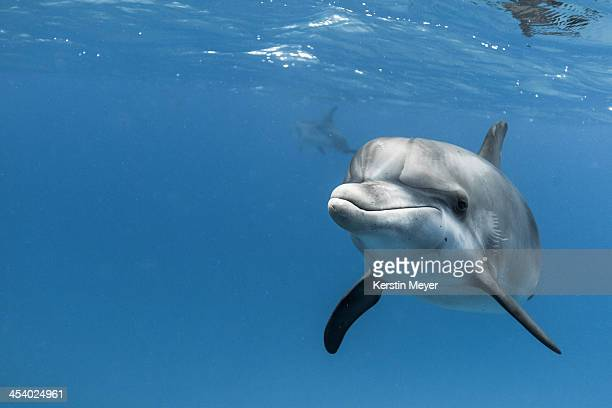 young atlantic spotted dolpin - bimini stock photos and pictures
