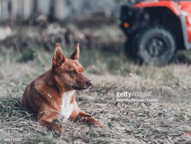 a young australian kelpie that is used for mustering sheep - year of the sheep stock pictures, royalty-free photos & images