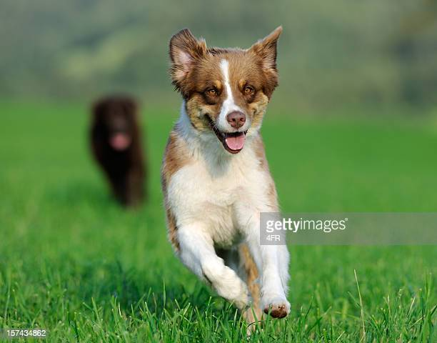 Young Australian Shepherd and Chocolate Labrador playing outside (XXXL)