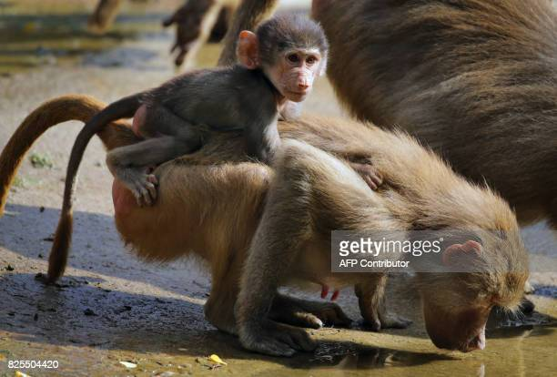 A young baboon sits on a drinking conspecific in their enclosure in the zoo Augsburg southern Germany on August 2 2017 / AFP PHOTO / dpa / KarlJosef...