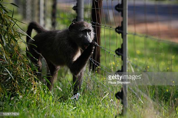 A young baboon stands behind an electric fence as she watches for a chance to break into a bakery across the street July 2 2010 in Capetown South...