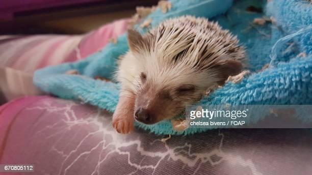 Young baby hedgehog sleeping on bed