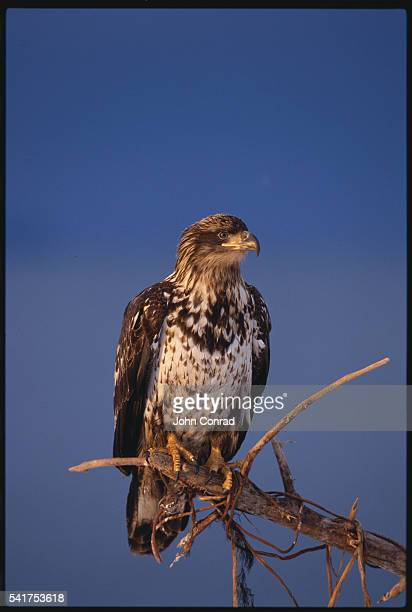 young bald eagle perched on a branch - home run ストックフォトと画像