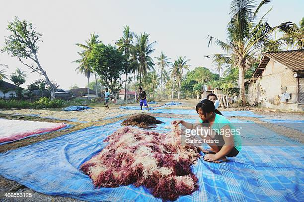 Young Balinese woman sorts out different colours of freshly covered seaweed on blue tarps for sun drying in her island village on Nusa Lembongan....