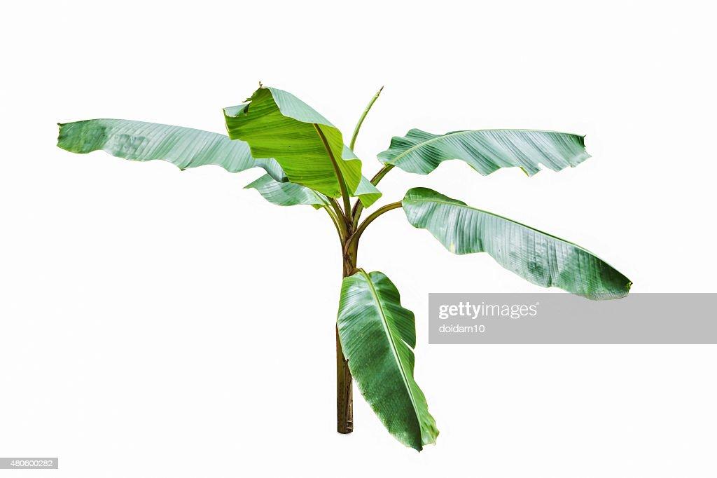 Young banana tree isolated on white background. : Stock Photo