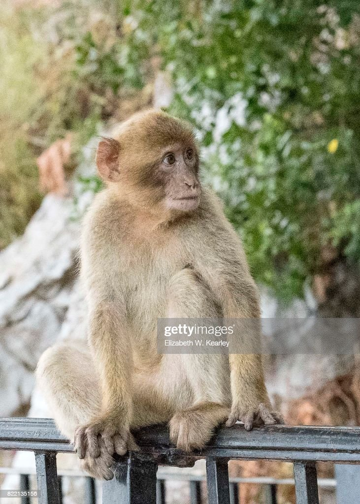 Young Barbary Macaque : Stock Photo