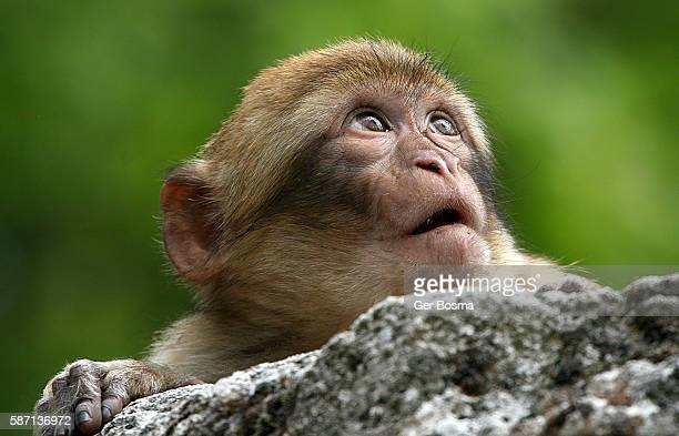 Young Barbary Macaque Portrait