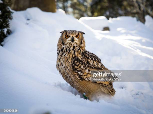 young barred owl on snowy slope,zakopane,poland - eurasian eagle owl stock pictures, royalty-free photos & images