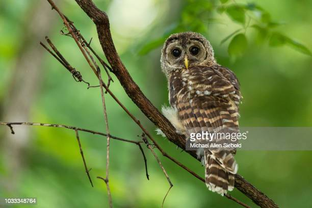 Young Barred Owl Perched on a Vine