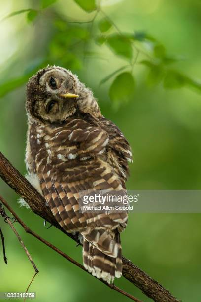 Young Barred Owl Perched on a Vine with a Tilted Head