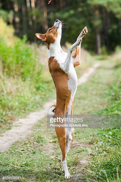 Young basenji dog