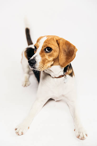 Young Beagle In The Studio Wall Art