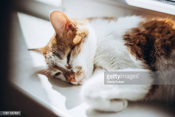 young beautiful red cat lies cutely on the windowsill - tabby stock pictures, royalty-free photos & images