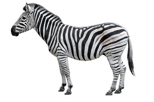 Young beautiful zebra isolated on white background. Zebra close up. Zebra cutout full length. Zoo animals. 906828896