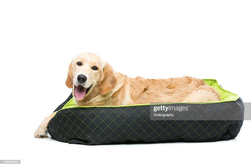 Young beautiul golden retriever dog : Stock Photo