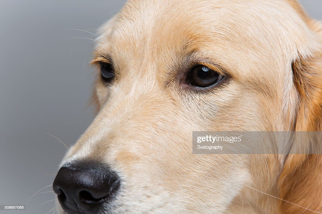 Young beautiul golden retriever dog : Stock Photo