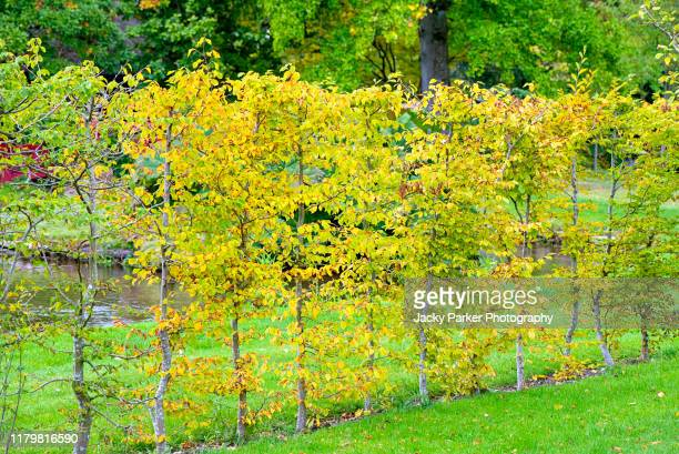 a young beech hedge - fagus sylvatica with golden leaves in an english garden - beech tree stock pictures, royalty-free photos & images