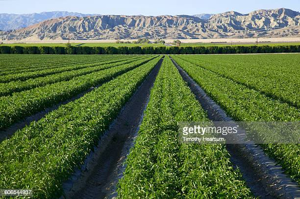 young bell pepper plants;mountains beyond - timothy hearsum stock photos and pictures