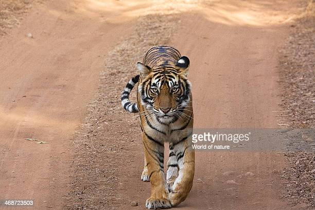 Young bengal tigress Ranthambhore Zone 1