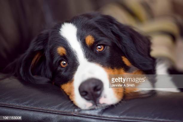 young bernese mountain dog - pet -studio stock photos and pictures