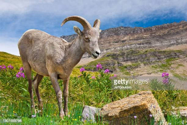 young bighorn ram in a meadow - jeff goulden stock pictures, royalty-free photos & images
